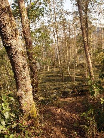 Tea plantation. The Vietnamese really do prefer coffee.
